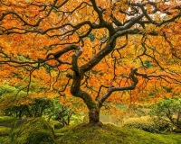 Japanese Maple in Autumn Colors, Portland Japanese Garden, Oregon